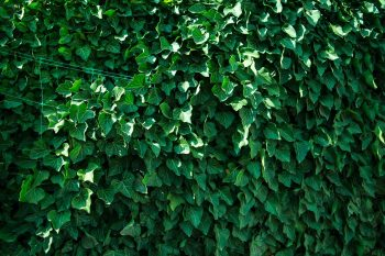 TWG 362: Coughs, Colds and Ivy Leaf extract